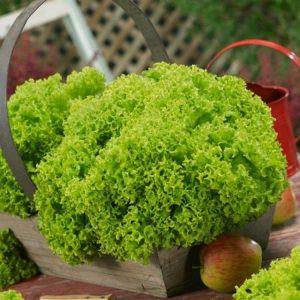 Salad (Lettuce)