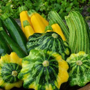 Zucchini (Squash)
